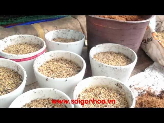 hướng dẫn trồng lúa làm cảnh - chậu cây để bàn lúa non