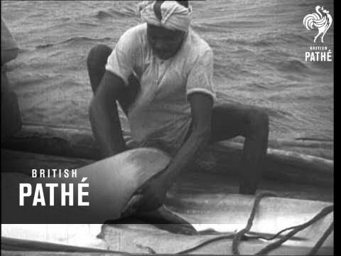 Shark Fishing - India (1946)