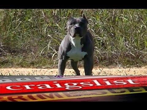 Professional Dog Training Schools Canada Pitbulls For Sale In