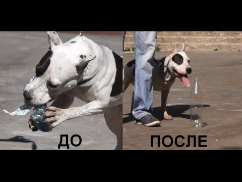 Одержимость пластиковыми бутылками (ТелепроектИскусство общения с собакой)