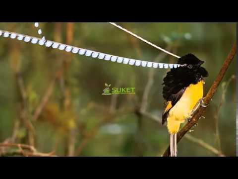 Suara Burung Surga Cenderawasih panji king of saxony bird of paradise Pteridophora alberti MP3