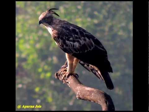 Mobile Ringtone Bird [Eagle_1_ SMS]