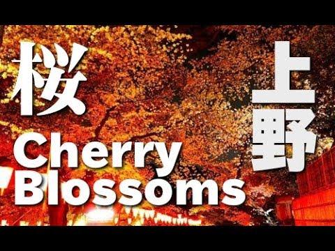 TOKYO  JAPAN 上野公園の満開の桜の花見(sakura)東京観光 Ueno Park is Cherry blossom spots in Tokyo(hanami) 日本の桜 花の名所案内