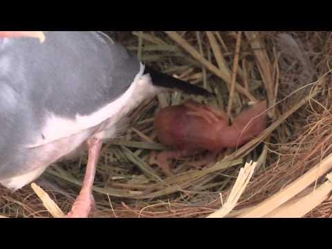 амадин клюют птенца