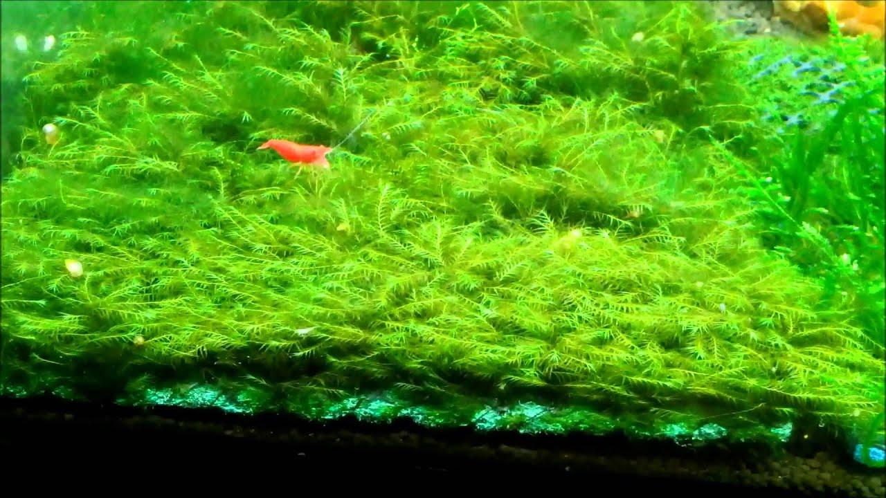 phoenix moss fissidens fontanus pads