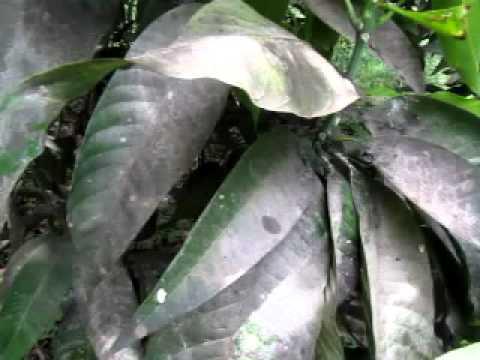 Development Of Sooty Mould On Mango Leaf After Hopper