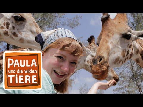 Kopf hoch, Giraffe! (Doku) | Reportage für Kinder | Paula und die wilden Tiere