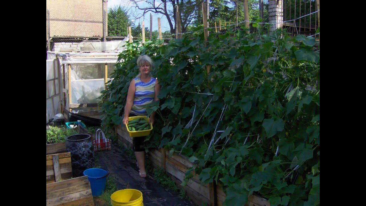 Дела огородные выращивание огурцов 70