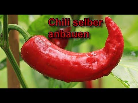 Chilischoten aus Samen selber ziehen - Chili Pflanzen anbauen / anpflanzen / züchten  Anleitung