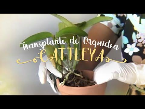 Como Cuidar de Orquídeas - Transplante de Cattleya