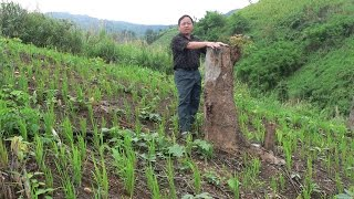 Hmong Farmer in Thailand (Kev ua teb) ม้งไทยการทำไร่