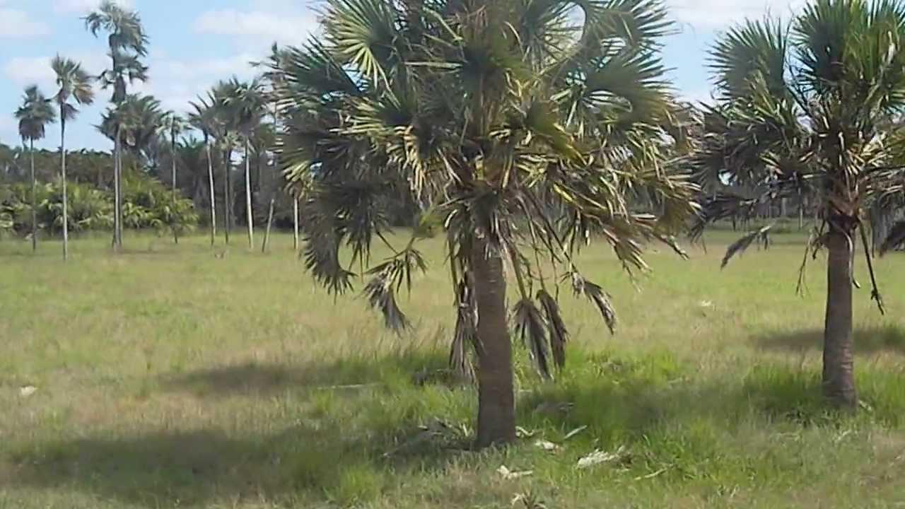Colecci n mundial de palmas jard n bot nico nacional la for Jardin zoologico de la habana