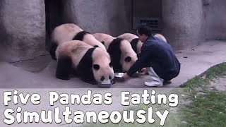 Have You Ever Seen Five Pandas Eating Simultaneously? | iPanda