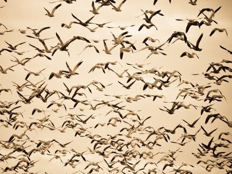 Snow Goose Hunting: Scouting Leads to a 100 Bird Day