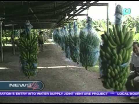 Banana export to China rebound