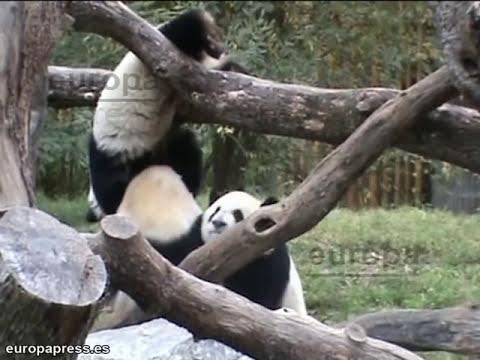 Los osos panda de Madrid se encuentran con su madre