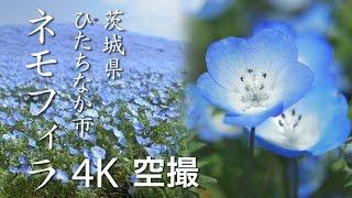 ネモフィラ[4K]茨城県ひたちなか市|絶景茨城 -VISIT IBARAKI, JAPAN-