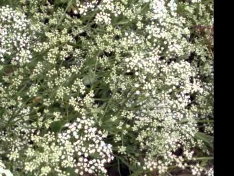 Pimpinella Anisum Seed Pimpinella Anisum With