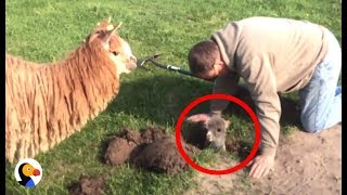 Baby Alpaca Stuck in Hole Can