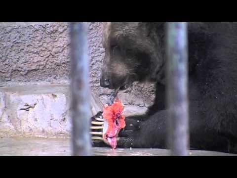 サケを食べるエゾヒグマの栄子(円山動物園)
