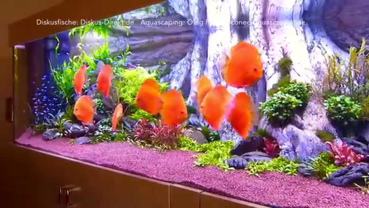 stendker fl chig feuerrot diskusfische in liter aquarium youtube. Black Bedroom Furniture Sets. Home Design Ideas