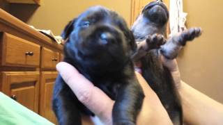 Jagdterrier pit bull drahthaar puppies