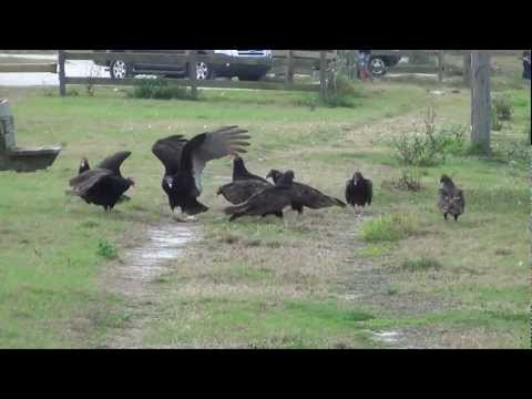 Turkey Vultures and an Eagle - (Cathartes aura)