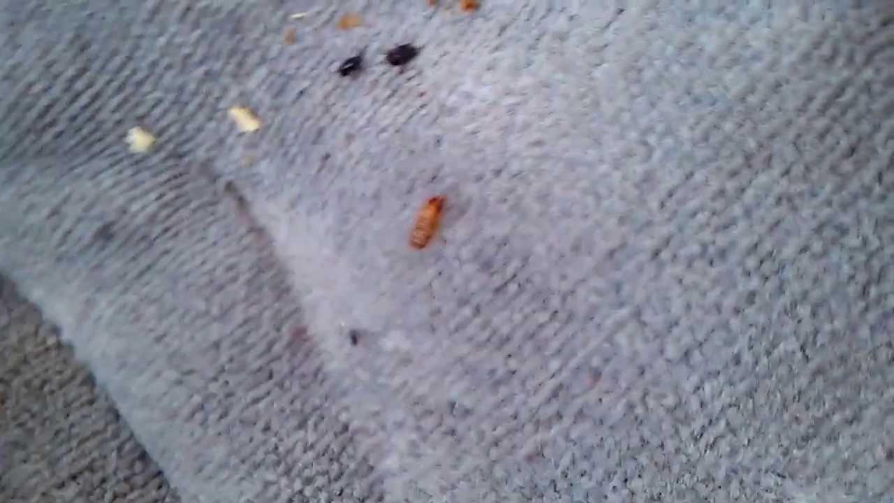 Brown carpet beetles