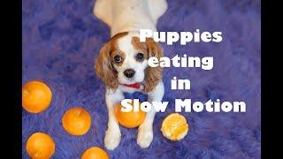 Puppies eating in slow motion   dog vs orange   Cavalier King Charles Spaniel