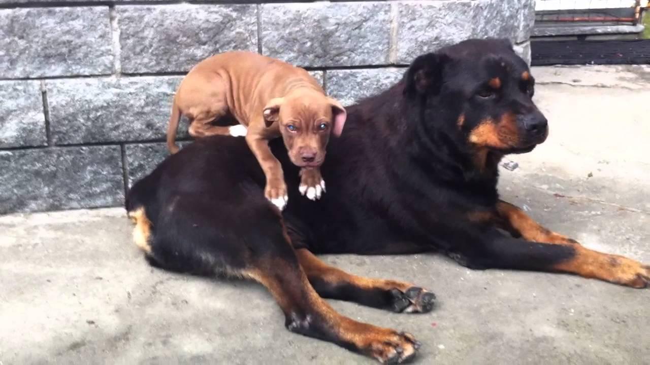 Pitbull Vs Rottweiler Amore A Prima Vista Youtube