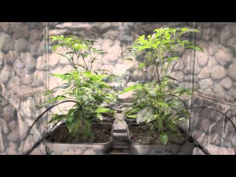 How Clay Pebbles enhances plant performance   An overview by Greens Hydroponics