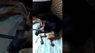 German shepard funny video