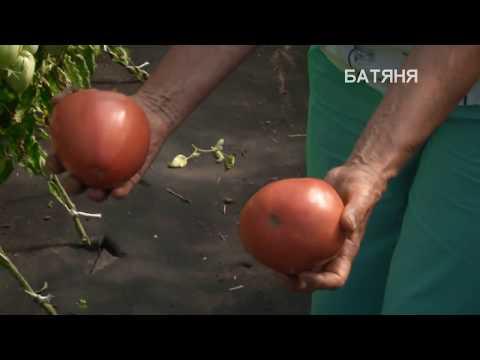 Знакомство с томатами сортов  Батяня и Княгиня