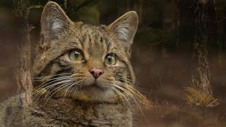 Clinging by a claw - Can you help the Scottish wildcat?