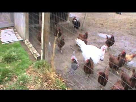 Raising rabbits and chickens in small spaces youtube - Small space farming image ...
