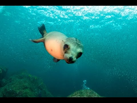Buceo con lobos marinos - Scuba diving with sea lions / Puerto Madryn - Argentina