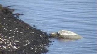 Hawaiian Green Sea Turtles: Honu of the Big Island