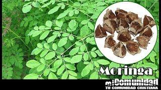 miComunidad.com - Propiedades curativas y medicinales de la Moringa