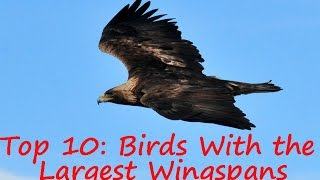 Birds: Top 10 Birds With the Largest Wingspans - Birds of Prey and Scavengers