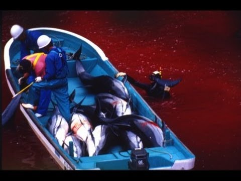 Japanese Fishermen Start Killing Trapped Dolphins
