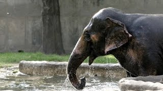 Asian Elephants Bathing