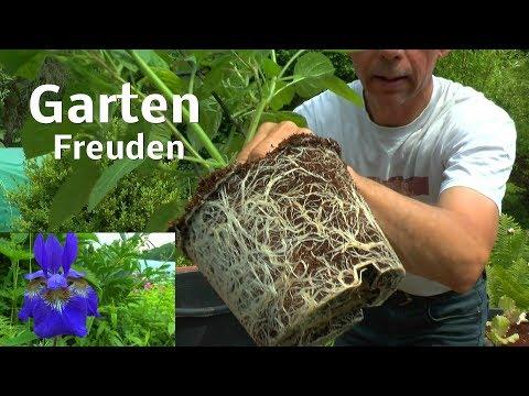 Garten Anfang Juni Zucchini und Physalis Mammutbaum bewurzelt
