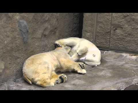 2011年5月28日 旭山動物園 ホッキョクグマのイワンとサツキ