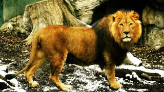 Collection of lion roars and sounds
