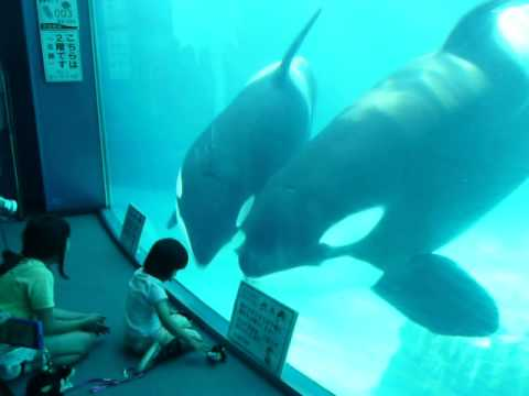 子供と遊ぶシャチの親子【名古屋港水族館2012】