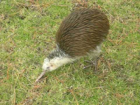 best kiwi bird video ever