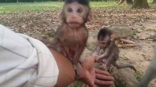 Cute​ monkey baby up​ on hands ,  baby monkey three up​ on hands , HD # 41