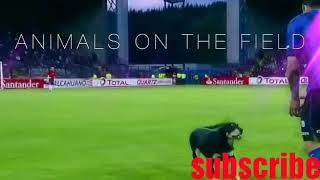 Animals on field: funny football moment