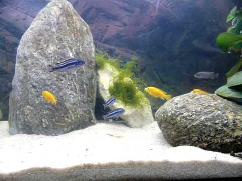moving fish tank wallpaper. Juwel 400l Malawi Fish Tank