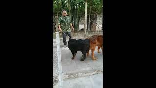 Phối giống chó Ngao Tây Tạng tại Trại Chó Hải Dương sdt  trại 01695 022 799